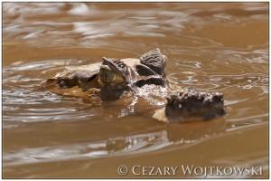 Kajman okularowy (ang. Spectacled caiman) Amazonia PERU