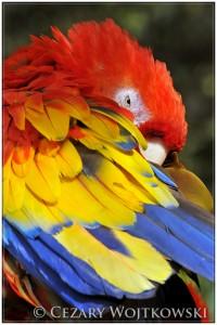 Ara żółtoskrzydła, ara czerwona (ang. Scarlet macaw) GWATEMALA