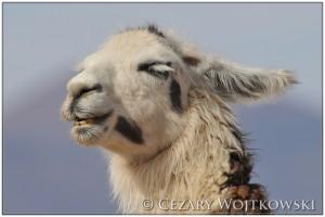 Lama (ang. Lama) PERU
