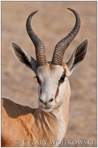 Skocznik antylopi (ang. Springbok) Etosha NAMIBIA