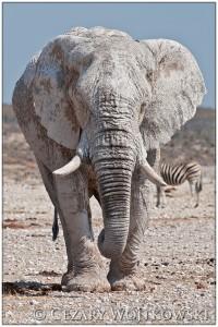 """""""Biały"""" Słoń afrykański (ang. African bush elephant) z Parku Etosha NAMIBIA"""