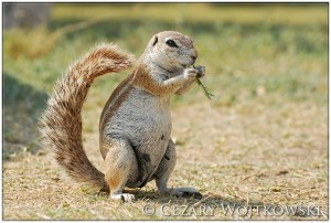 Afrowiórka (ang. African ground squirrel) BOTSWANA