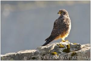 Sokół nowozelandzki (ang. New Zealand falcon) NOWA ZELANDIA
