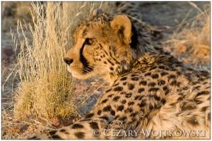Gepard grzywiasty (Acinonyx jubatus) NAMIBIA