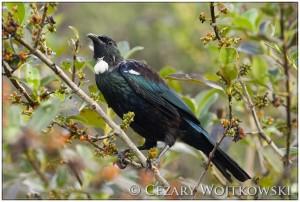 Kędziornik (Prosthemadera novaeseelandiae) NOWA ZELANDIA