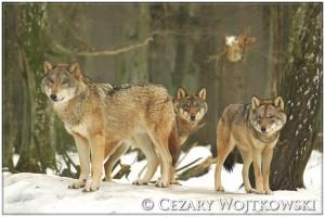 Wilki (Canis) Białowieski Park Narodowy POLSKA