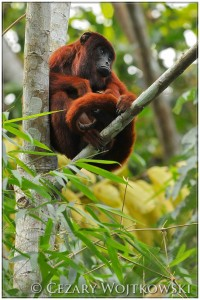 Wyjec rudy (ang. Red howler) Amazonia PERU