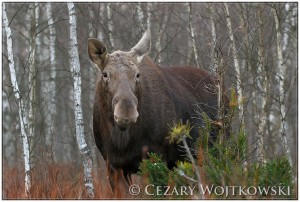 Łoś (ang. Elk) Biebrzański Park Narodowy POLSKA