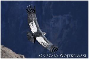 Kondor wielki (ang. Andean condor) Kanion Colca PERU