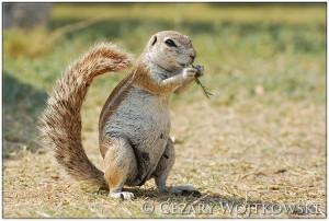 Afrowiórka (ang. African ground squirrel) BOTSWANA