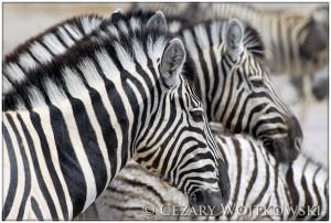 Zebry stepowe (ang. plains zebra) NAMIBIA