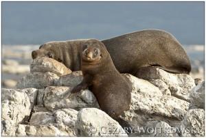 Kotik nowozelandzki (ang. New Zealand fur seal) NOWA ZELANDIA