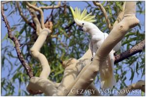 Kakadu zółtolica (ang. Yellow-crested Cockatoo) Park Narodowy Kakadu AUSTRALIA