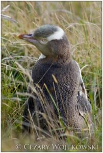 Pingwin żółtooki (Megadyptes antipodes) NOWA ZELANDIA