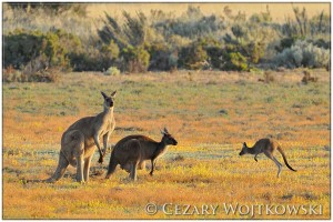 Kangury olbrzymie (Macropus giganteus) AUSTRALIA