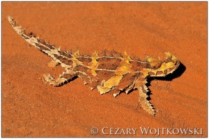 Moloch straszliwy (Moloch horridus) AUSTRALIA