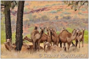 Wielbłądy jednogarbne (Camelus dromedarius) AUSTRALIA