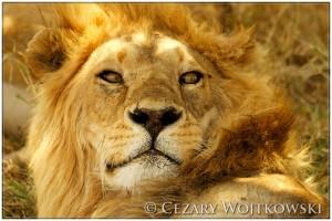 Lew afrykański (Panthera leo) TANZANIA