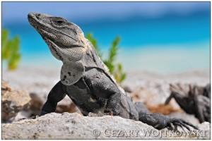 Legwan zielony (Iguana iguana) MEKSYK
